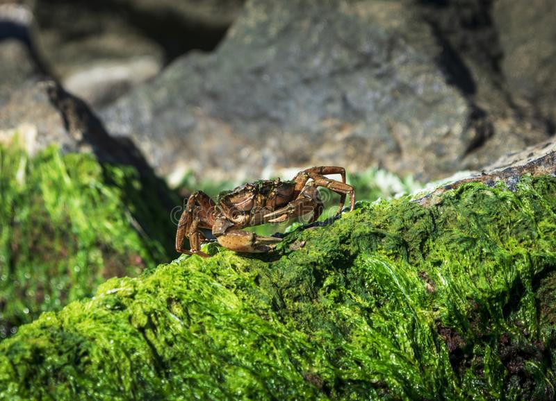 O caranguejo do mar senta-se em uma rocha com algas verdes foto de stock
