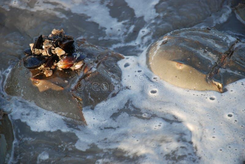 O caranguejo em ferradura com mexilhões e a capota do shell no esperma encheram a água imagem de stock