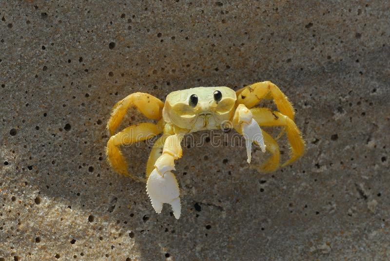 O caranguejo na areia defende-se de voc? fotos de stock