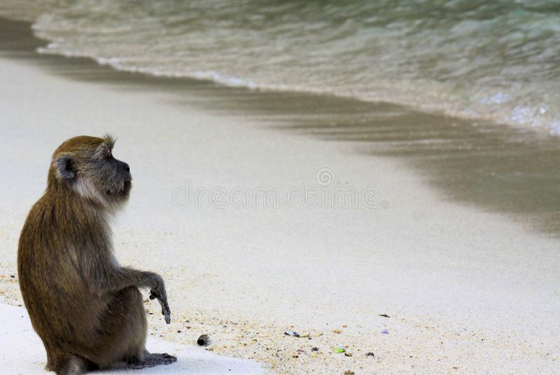 o caranguejo relaxado do macaco que come o Macaque atado longo, fascicularis do Macaca permite que a alma oscile ao olhar no ocea fotografia de stock