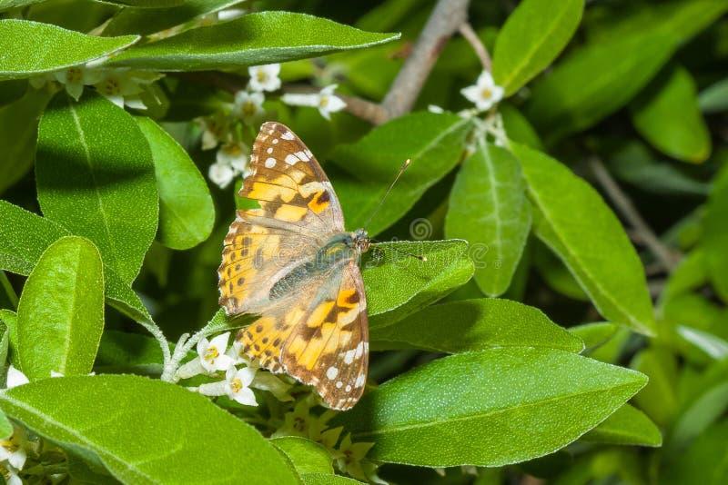 O cardui de Vanessa da borboleta está em um ramo de um umbellata de florescência do Elaeagnus imagens de stock