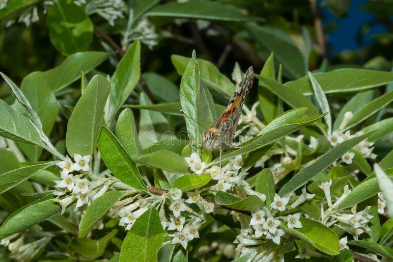 O cardui de Vanessa da borboleta est? em um ramo de um umbellata de floresc?ncia do Elaeagnus foto de stock