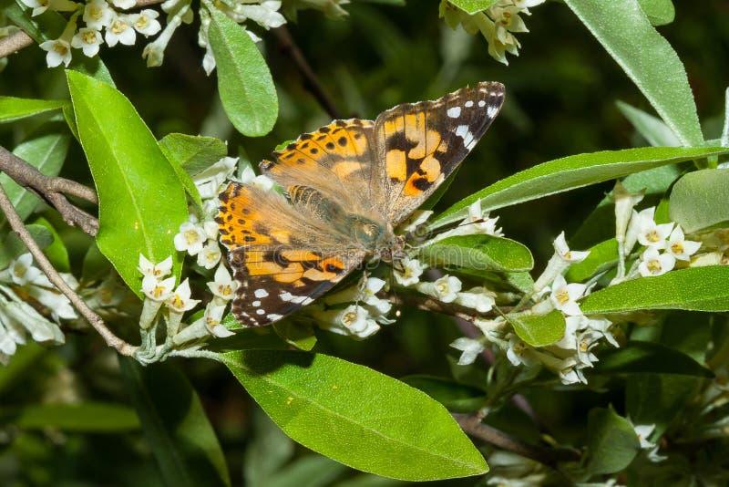 O cardui de Vanessa da borboleta est? em um ramo de um umbellata de floresc?ncia do Elaeagnus imagem de stock royalty free