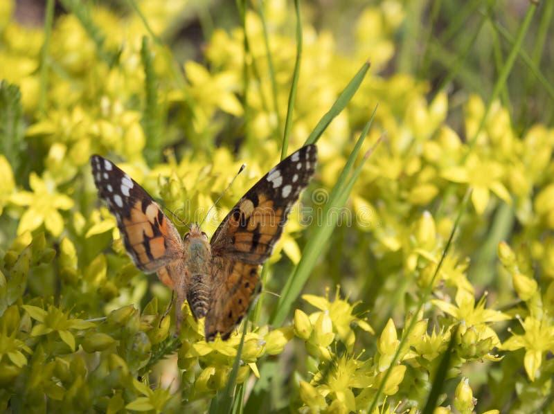 O cardui de Vanessa da borboleta, senhora pintada senta no flores amarelas e bebe o néctar com seu probóscide fundo com a fotos de stock royalty free