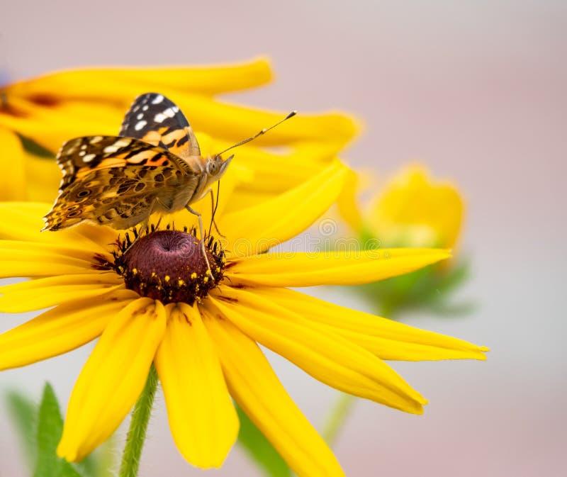 O cardui de Vanessa da borboleta senta-se em uma flor amarela e bebe-se o néctar com seu probóscide borboleta pintada da senhora imagem de stock
