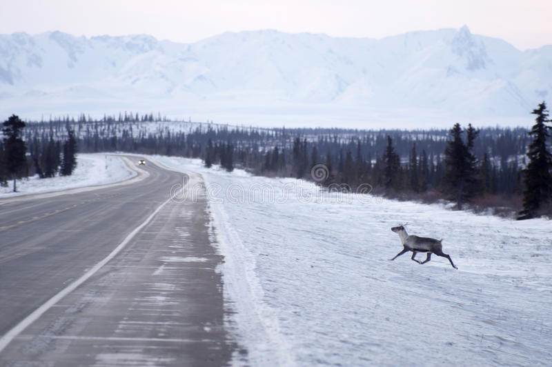 O caribu selvagem da rena tenta cruzar a estrada gelada Alaska do norte imagens de stock