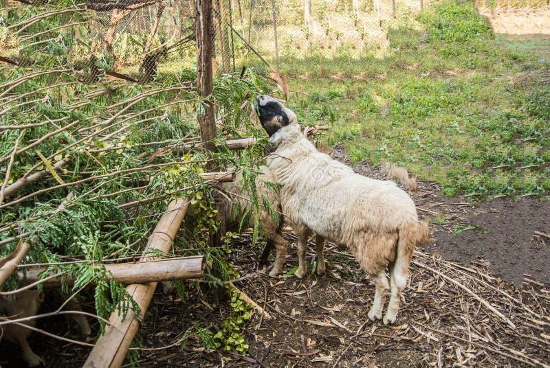 O carneiro é uns quadrupedal, mamíferos do ruminante fotografia de stock royalty free