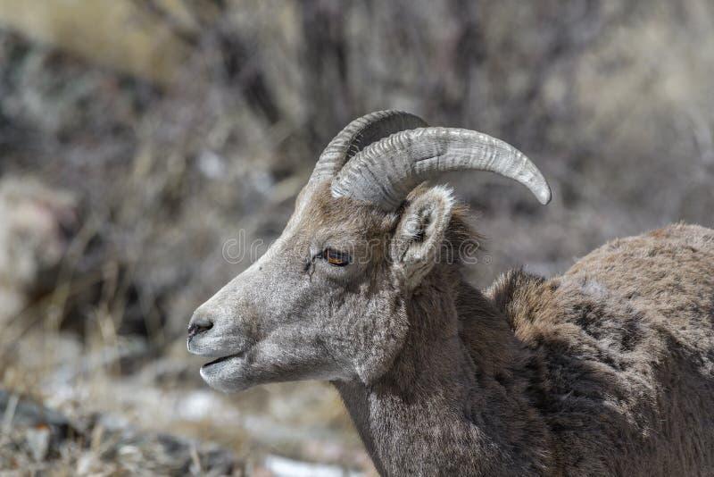 O carneiro de Bighorn procura o alimento no inverno em Rocky Mountains, Colorado fotos de stock royalty free