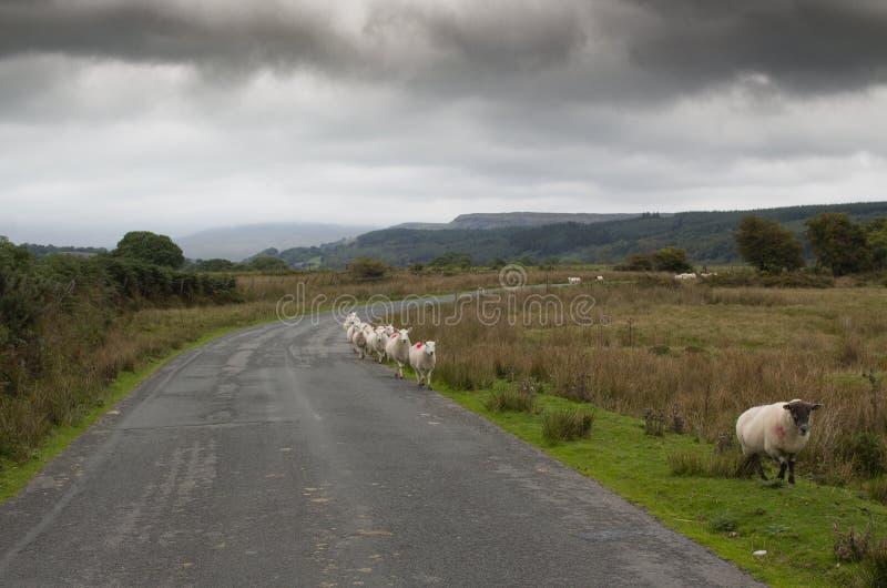 O carneiro que anda no único arquivo ao longo de uma estrada no Brecon ilumina Gales fotos de stock