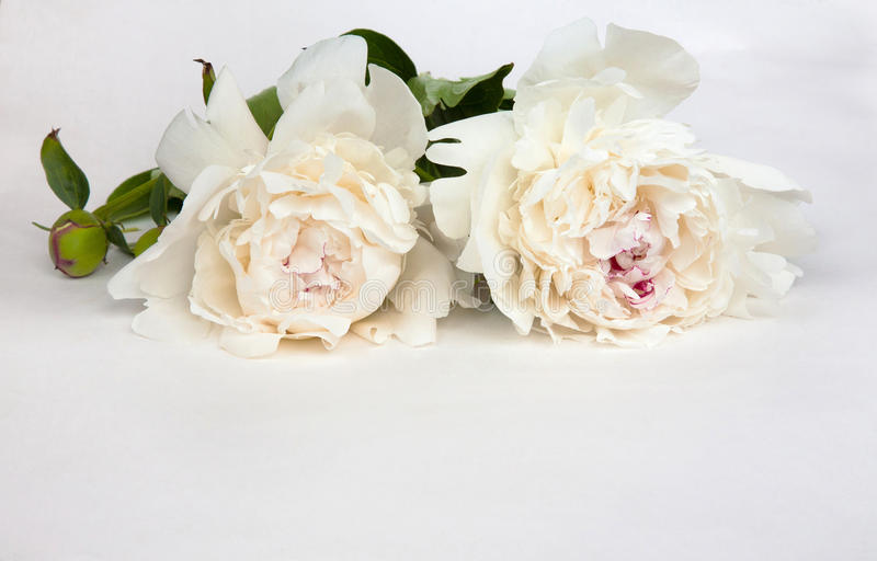 O cartão para o convite, felicitações com peônias brancas floresce fotos de stock royalty free