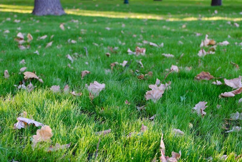 O carvalho amarelo do outono sae na grama verde no parque Imagem com profundidade de foco rasa fotos de stock