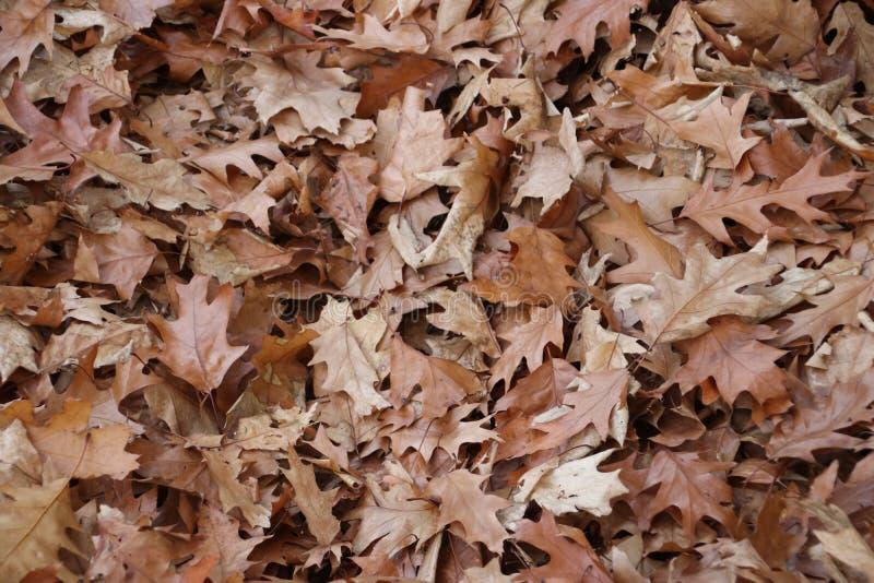 O carvalho de Brown sae na terra em uma floresta em Güéldria nos Países Baixos imagem de stock royalty free