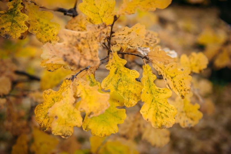 O carvalho sae em um fim do ramo acima Vista macro Fundo com folhas amarelas, foco seletivo do outono foto de stock royalty free