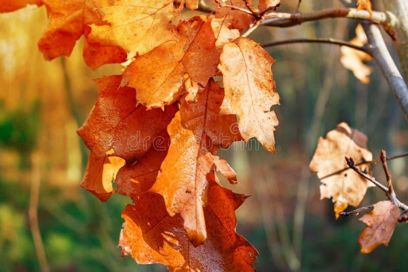 O carvalho seco amarelado sae em um ramo em um dia ensolarado do outono imagem de stock royalty free