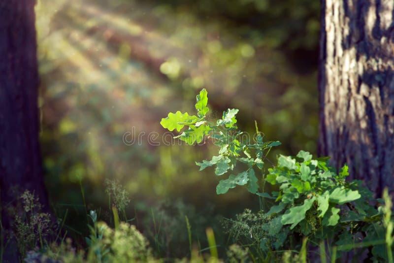 O carvalho verde sae sob raios do sol na madeira profunda fotos de stock