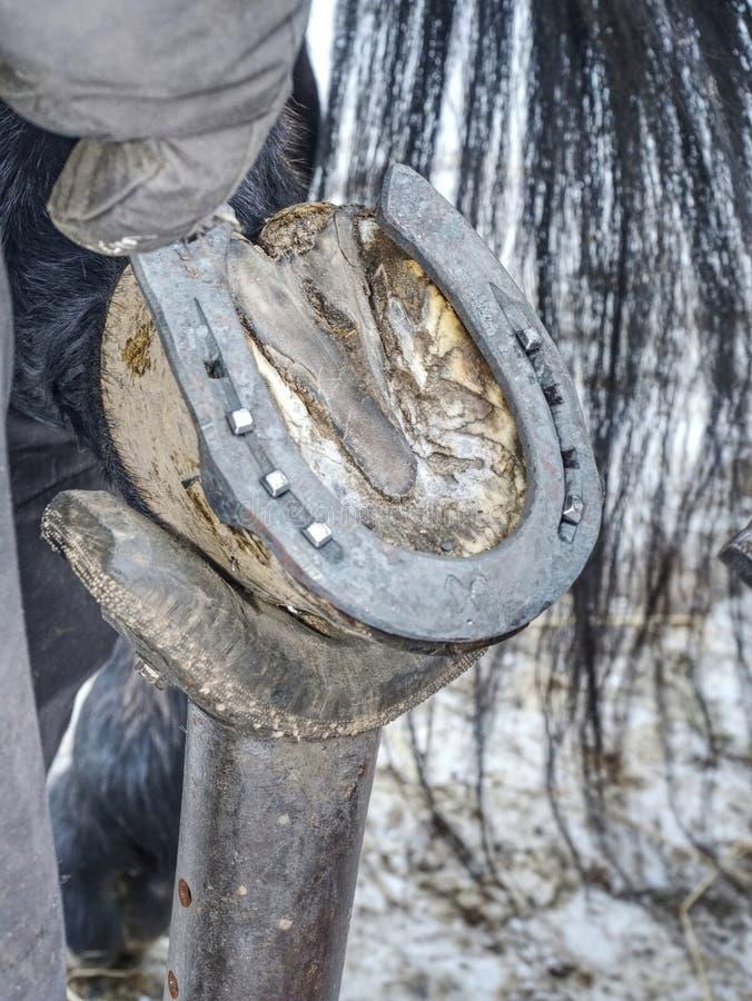 O casco do cavalo de Holde do Farrier, ferreiro faz o horseshoeig, imagens de stock