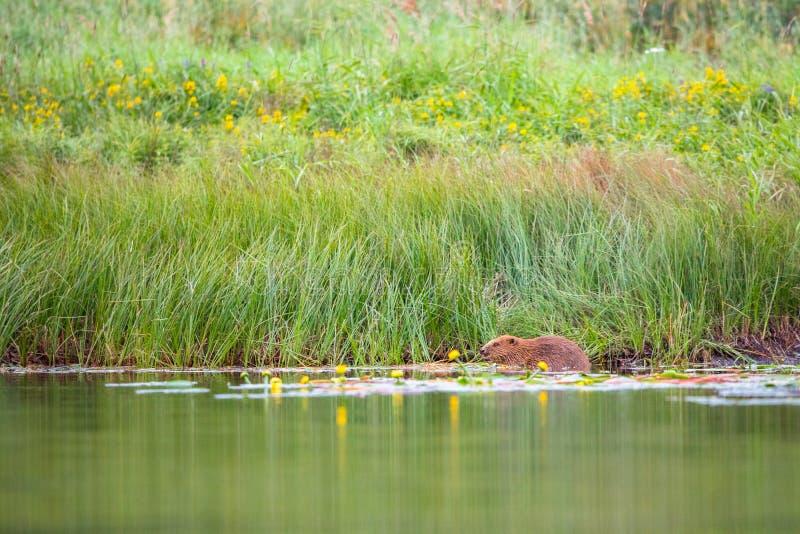 O castor europeu, fibra do rodízio, senta-se em comer do rio imagens de stock