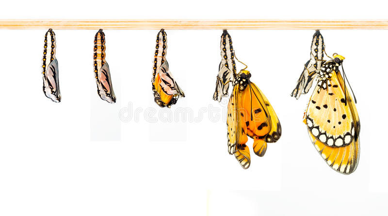 O casulo maduro transforma à borboleta de Tawny Coster fotografia de stock royalty free