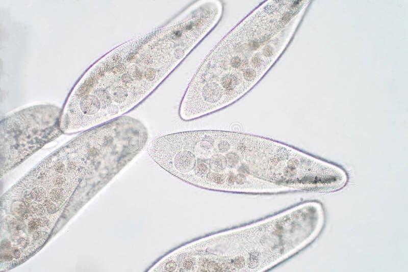 O caudatum do Paramecium é um gênero do protozoário ciliated unicellular fotografia de stock