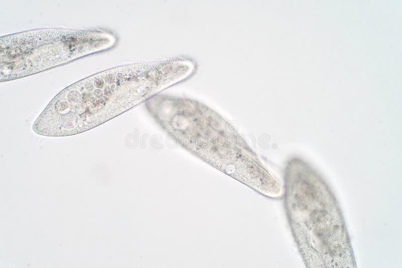 O caudatum do Paramecium é um gênero do protozoário ciliated unicellular imagens de stock royalty free