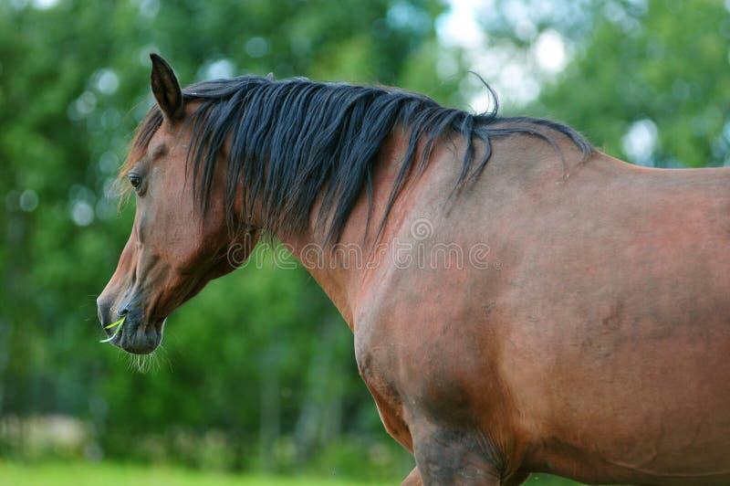 O cavalo árabe livra o retrato fotografia de stock royalty free