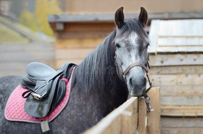 O cavalo é equipado montando e amarrado a uma cerca de madeira Close-up, você pode ver somente a cabeça e a parte do corpo do cav imagem de stock royalty free