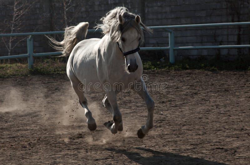O cavalo branco fotografia de stock royalty free