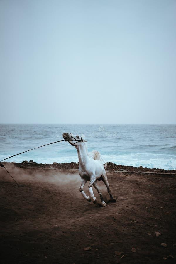 O cavalo branco bonito corre na poeira na areia vulcânica preta no litoral atlântico fotografia de stock
