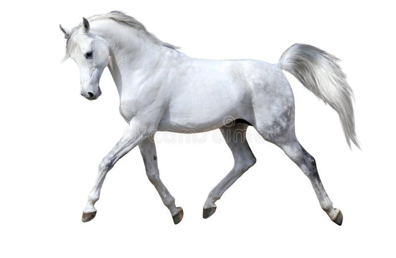 O cavalo branco isolado trota foto de stock