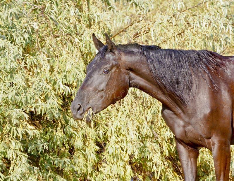 o cavalo com juba preta longa come arbustos verdes fotos de stock royalty free