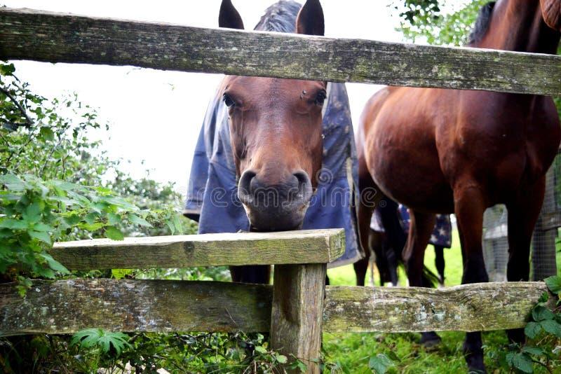 O cavalo curioso fotografia de stock royalty free