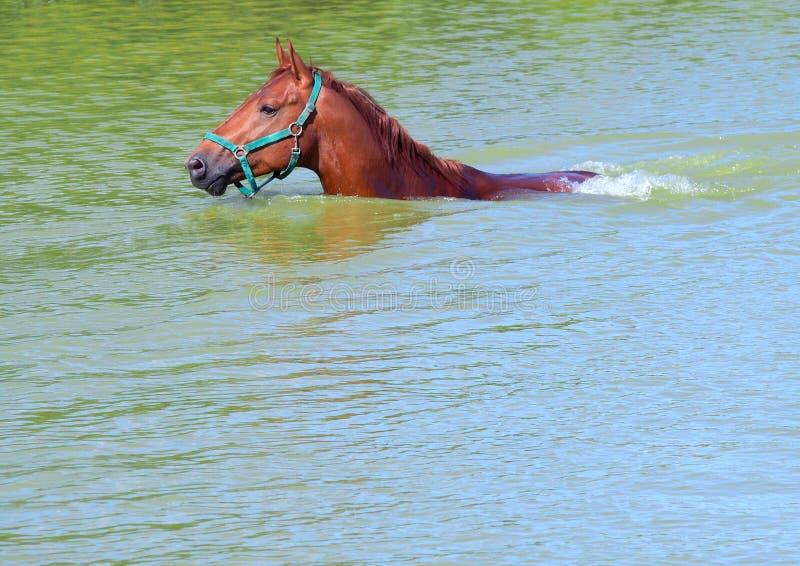 O cavalo da castanha dos esportes datilografa dentro a água imagens de stock