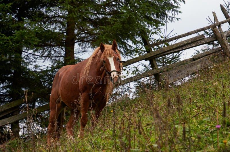 O cavalo de Brown pasta no pasto da montanha O corcel está na inclinação na grama verde e nos wildflowers imagem de stock royalty free