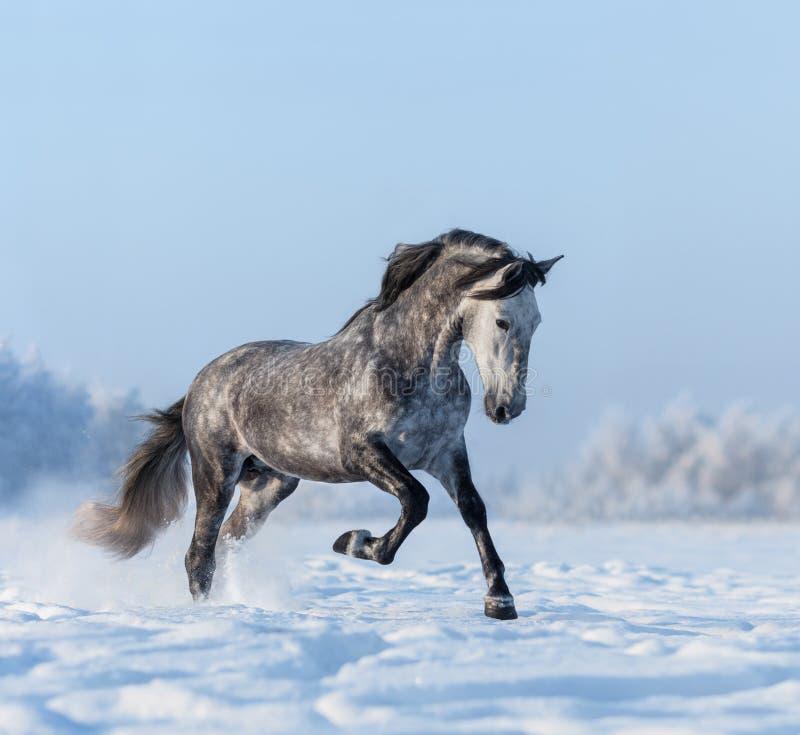 O cavalo de Grey Spanish galopa no snowfield fotografia de stock