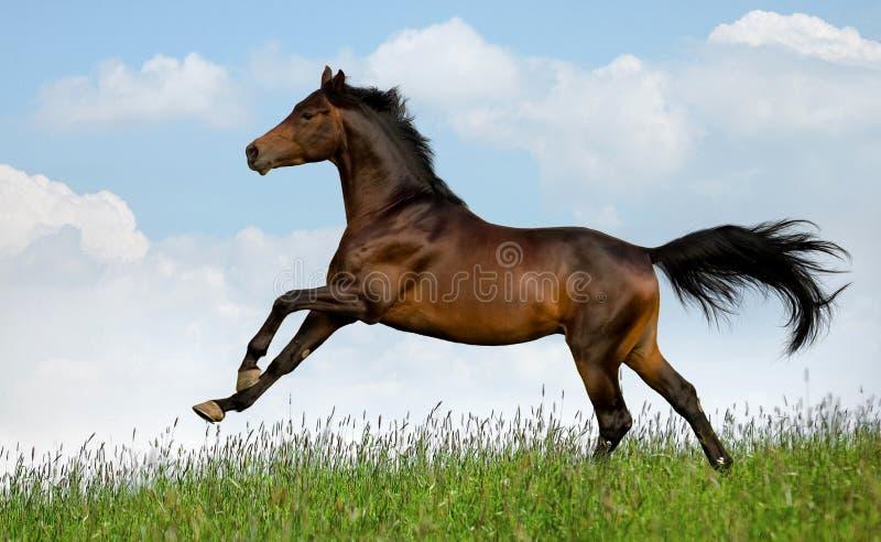 Download O Cavalo De Louro Galopa No Campo Foto de Stock - Imagem de nuvem, beleza: 23981808
