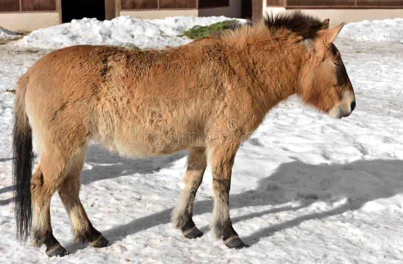 O cavalo de Przewalski, igualmente chamou o cavalo selvagem Mongolian ou o cavalo de Dzungarian fotos de stock