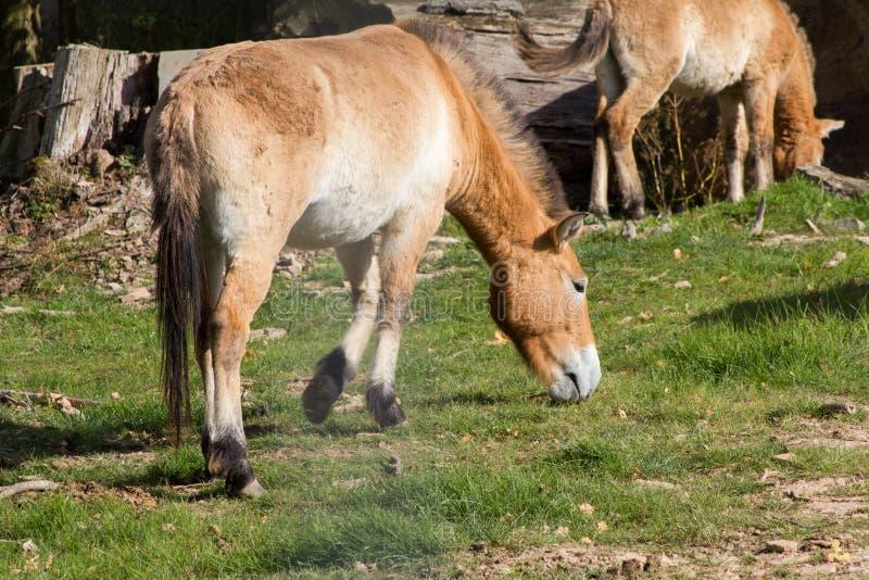 O cavalo de Przewalski, também Takhi, cavalo selvagem asiático ou cavalo selvagem do Mongolian chamado, é a única subespécie do c fotografia de stock