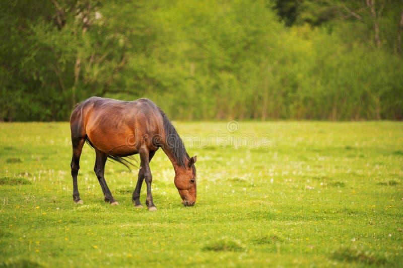 O cavalo do marrom escuro pasta em um prado verde da mola contra um fundo de uma floresta nova no sol de ajuste fotografia de stock royalty free