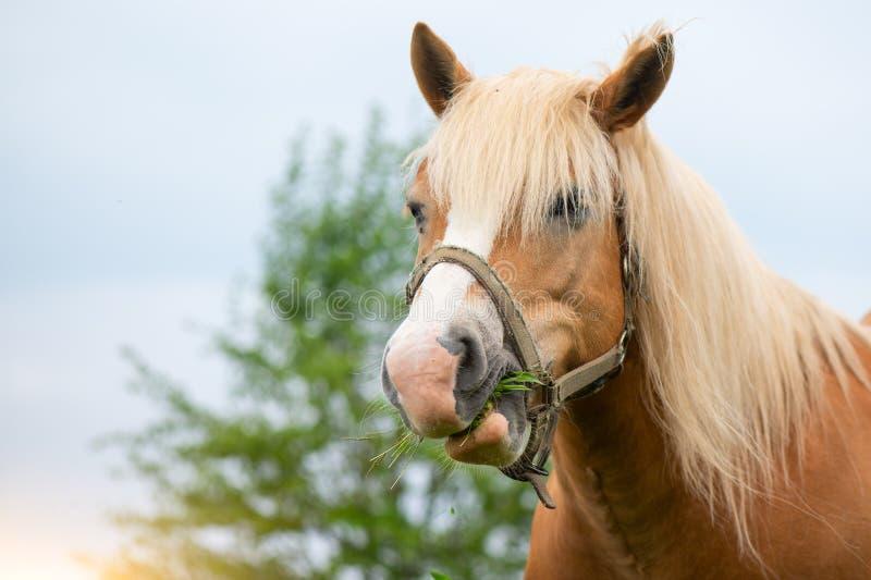 O cavalo do ruminante come a grama imagens de stock