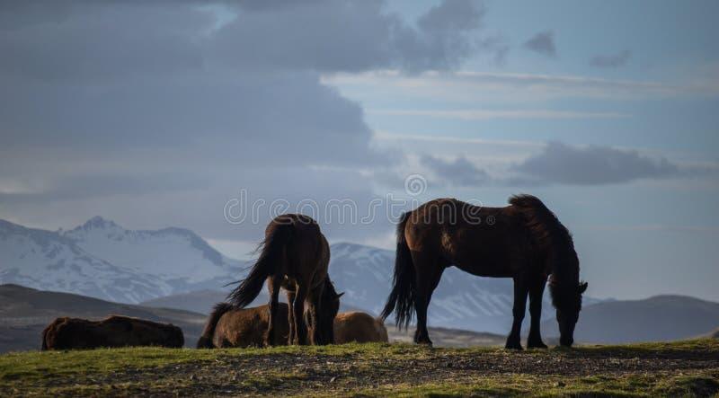 O cavalo icônico de Islândia fotos de stock