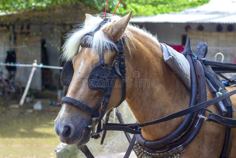 O cavalo na espera do chicote de fios e dos antolhos fotografia de stock