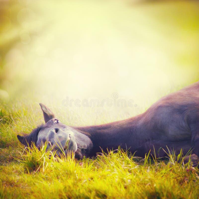 O cavalo novo que descansa na grama do amarelo do outono sobre o fundo da natureza com Sun irradia imagens de stock
