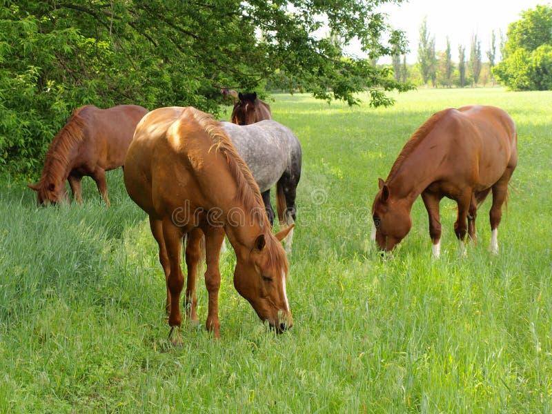 O cavalo pasta fotografia de stock royalty free