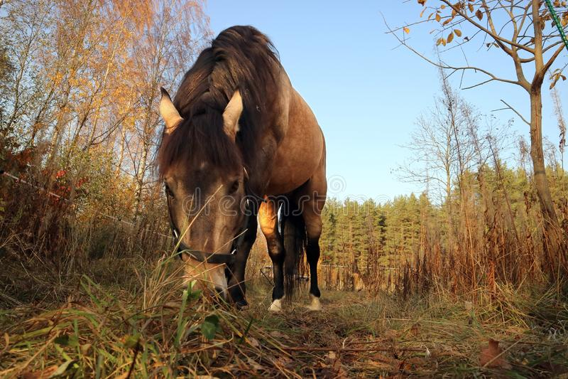 O cavalo pasta em uma clareira da floresta em torno das árvores do outono imagens de stock royalty free