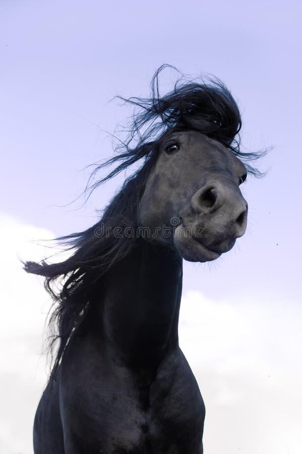 O cavalo preto do frisão agita sua juba imagens de stock
