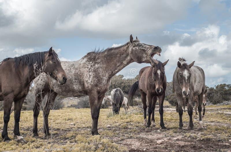 O cavalo relinchar fotos de stock