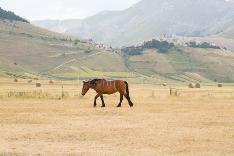 O cavalo selvagem com a vila de Castelluccio di Norcia destruiu no terremoto no fundo Apennines, Úmbria, Itália foto de stock