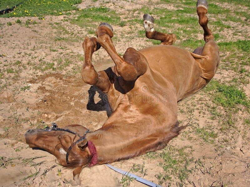 O cavalo vermelho cai para baixo foto de stock