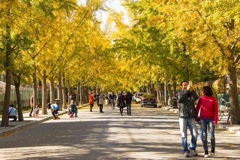 O cenário do outono, biloba amarelo da nogueira-do-Japão sae, avenida da nogueira-do-Japão fotografia de stock royalty free