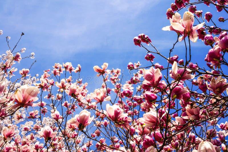 O cen?rio da mola das flores da ameixa imagem de stock royalty free
